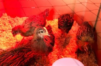 backyard chicken adolescents
